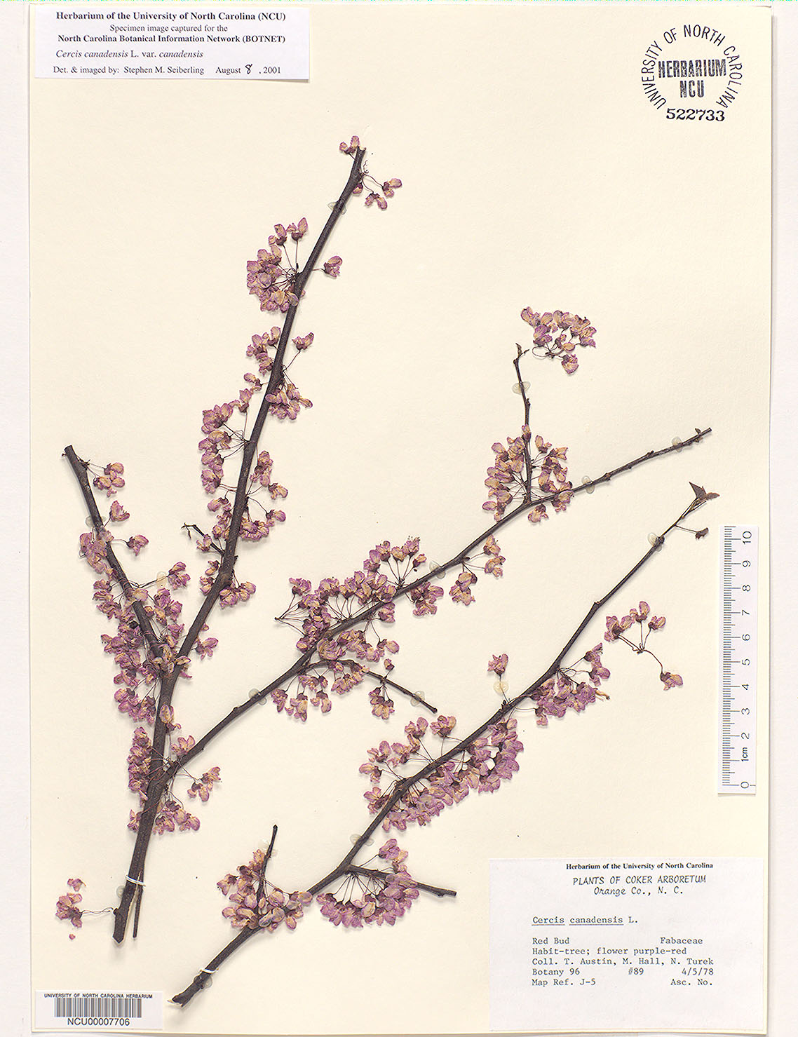 Common trees of the north carolina piedmont cercis canadensis l herbarium sheet 2 dhlflorist Gallery