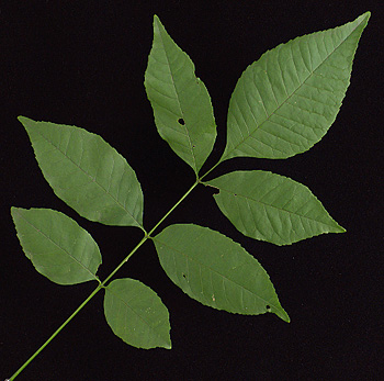 Common Trees of the No... Fraxinus Americana Leaf Scar