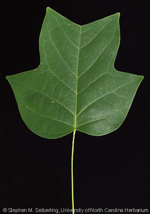 Common Trees The North Carolina Piedmont Liriodendron Tulipifera Tuliptree