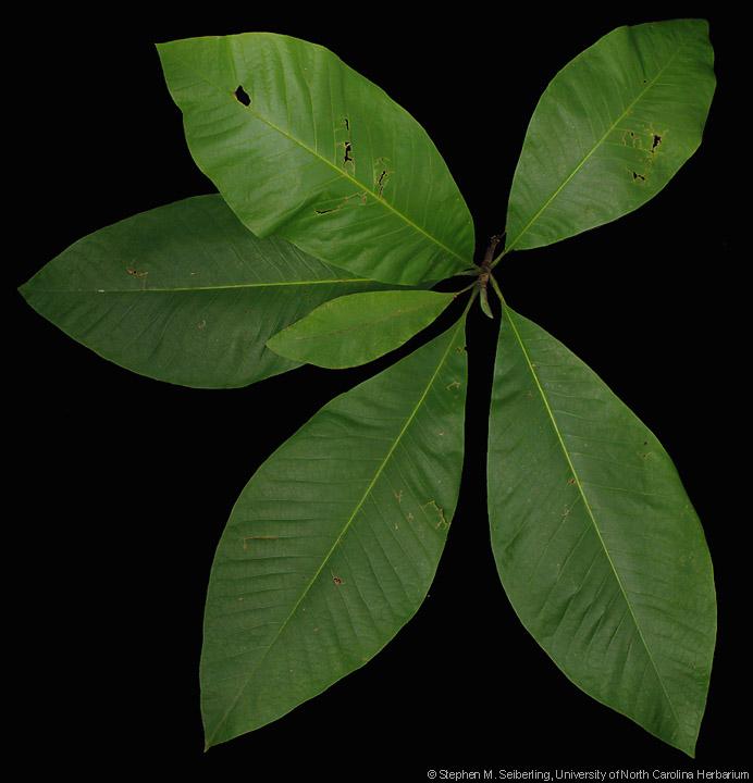 Common Trees Of The North Carolina Piedmont Magnolia Tripetala L
