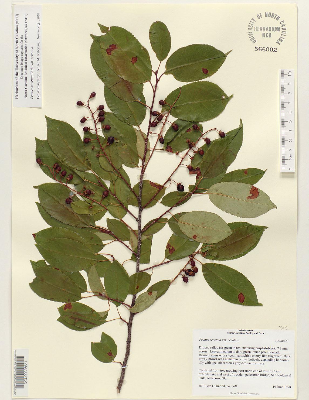 Prunus Serotina Flower