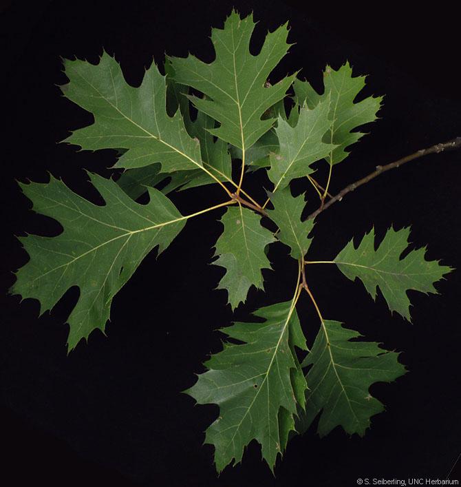 Quercus Laurifolia Leaf Biological Sciences 43...