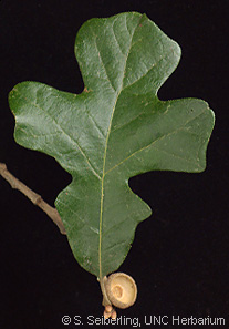 Common Trees Of The North Carolina Piedmont Quercus