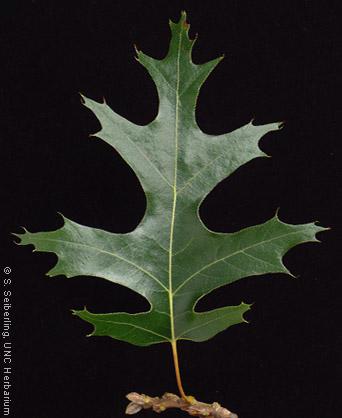 Quercus_velutina_leaf03.jpg