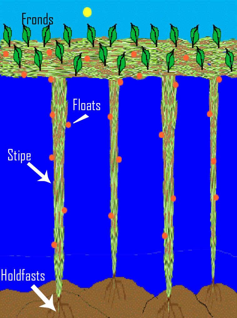 Stipe Kelp