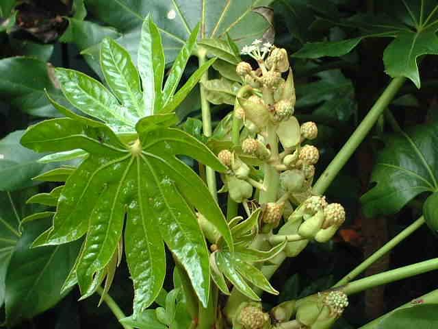 Plantas para lugares secos y sombr os - Plantas de hojas grandes y verdes de exterior ...