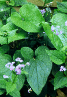 Plantas para lugares secos y sombr os for Arboles de hoja perenne grandes